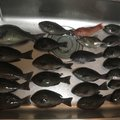 まな板の鯛さんのアカササノハベラの釣果写真