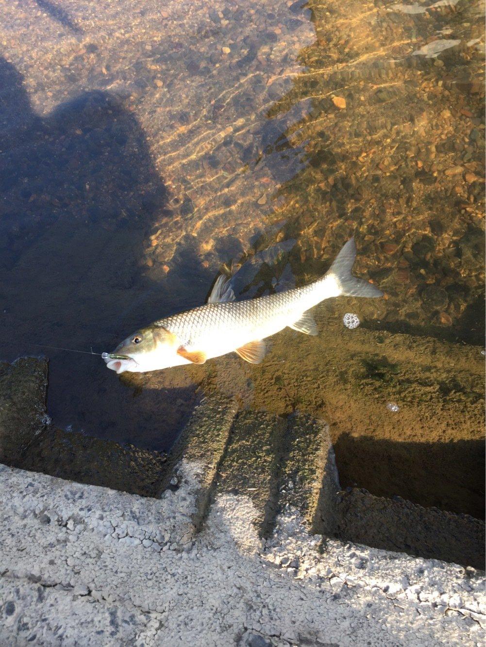 まえぴさんの投稿画像,写っている魚はニゴイ