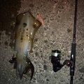 こうへいさんの福井県丹生郡でのアオリイカの釣果写真