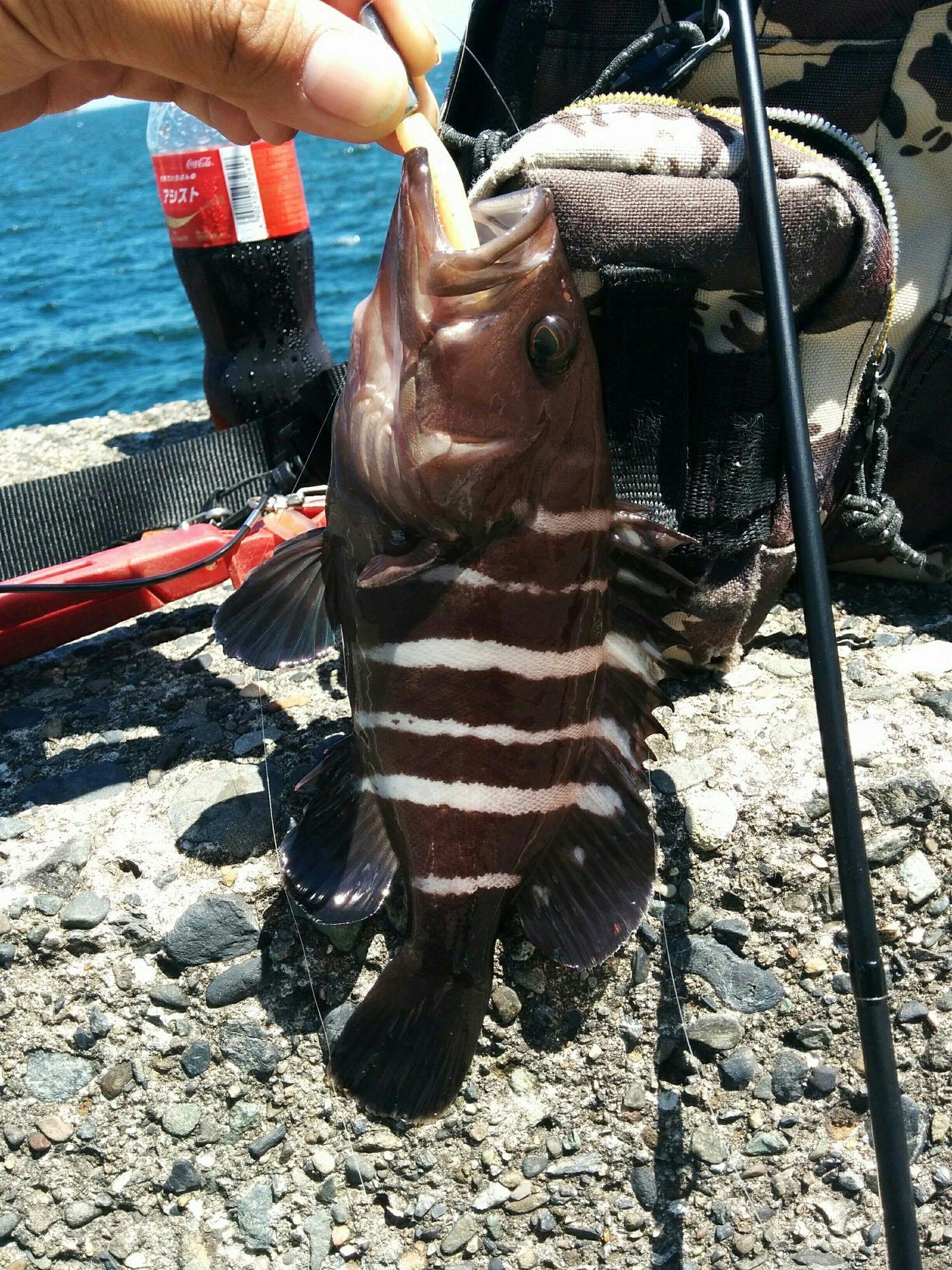 メバリストさんの投稿画像,写っている魚はマハタ