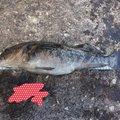 カペリンさんの北海道余市郡での釣果写真