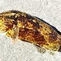HIDE RUNさんの愛知県知多郡でのアイナメの釣果写真