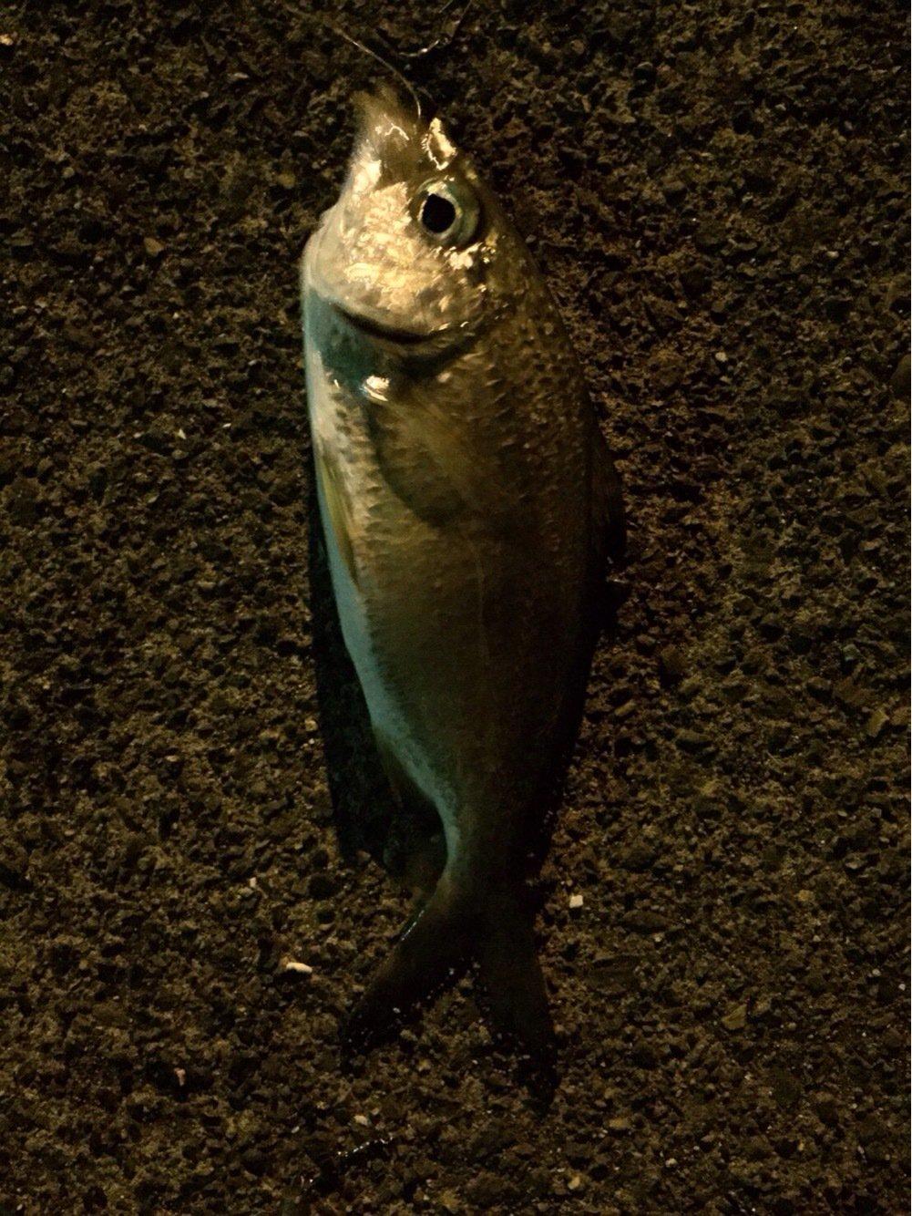 ヒルネさんの投稿画像,写っている魚はクロサギ