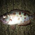 えるさんの高知県土佐清水市での釣果写真