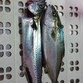 BOOOOZUさんの秋田県由利本荘市での釣果写真