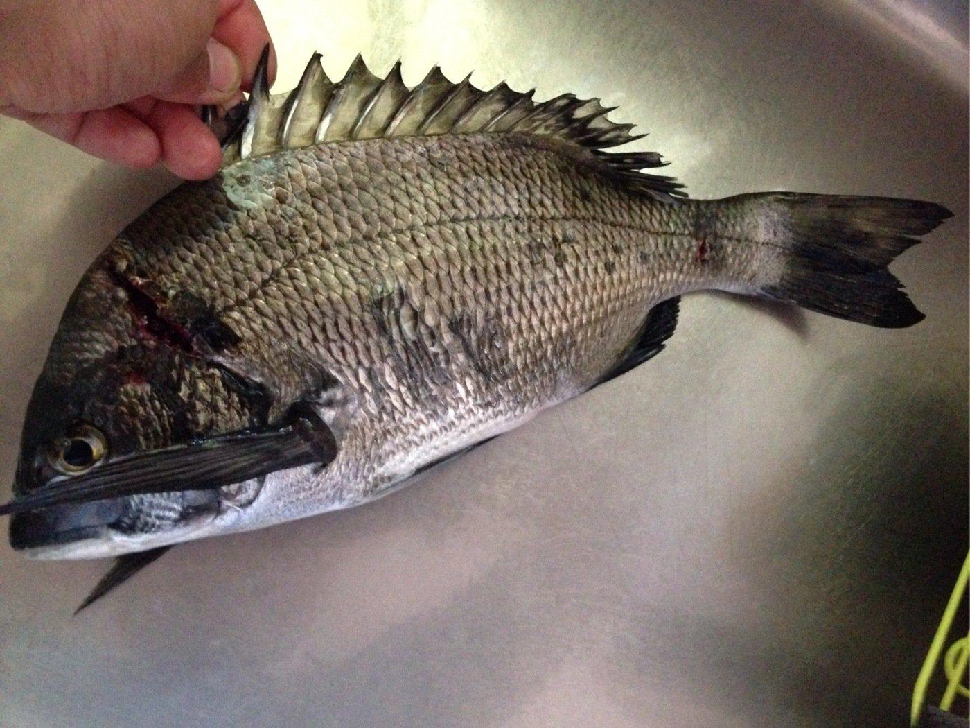 しょーへさんの投稿画像,写っている魚はクロダイ