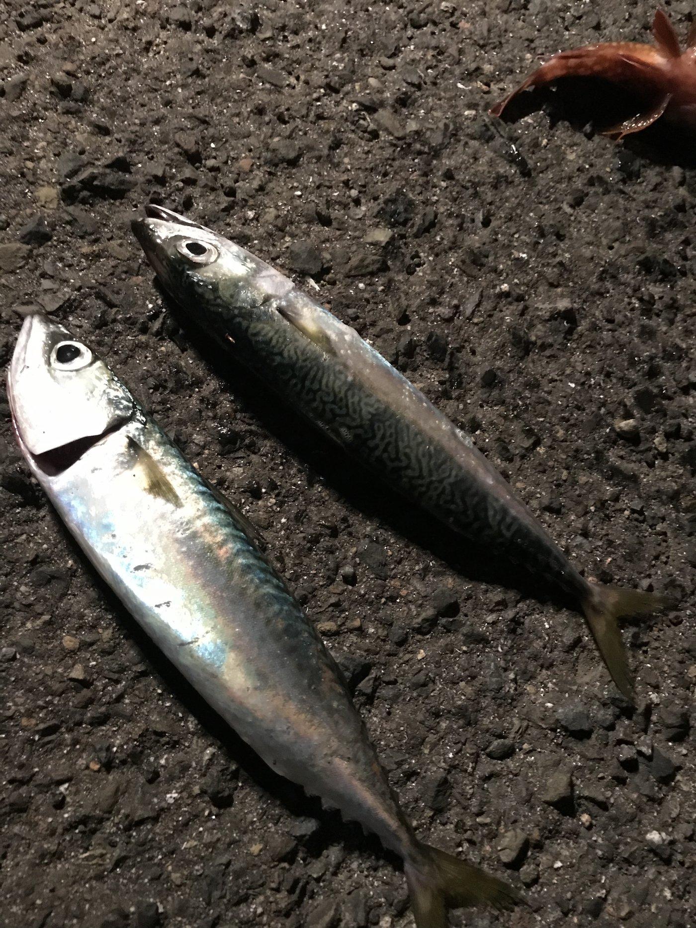 fishing大学生 さんの投稿画像,写っている魚はマサバ