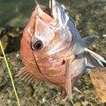 かねさんの香川県東かがわ市での釣果写真