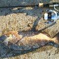 vivi太郎さんのアイゴの釣果写真