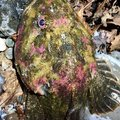 きーとんさんの北海道石狩郡でのカジカの釣果写真