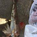ずましさんの秋田県潟上市での釣果写真