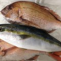 ビギにゃーさんの青森県でのワラサの釣果写真