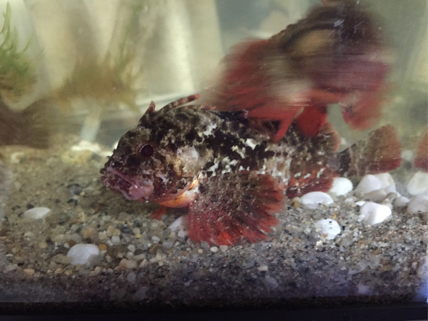 まいこさんの投稿画像,写っている魚はハオコゼ