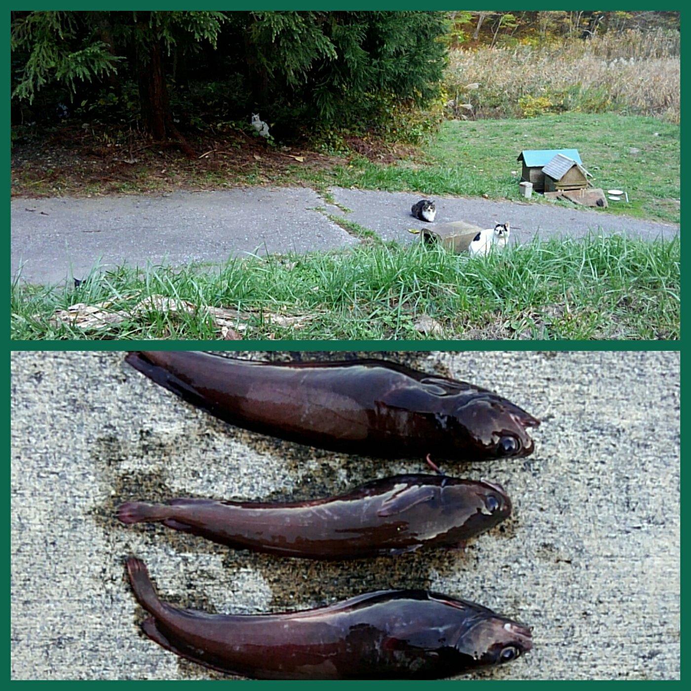 ざびえるさんの投稿画像,写っている魚はエゾイソアイナメ