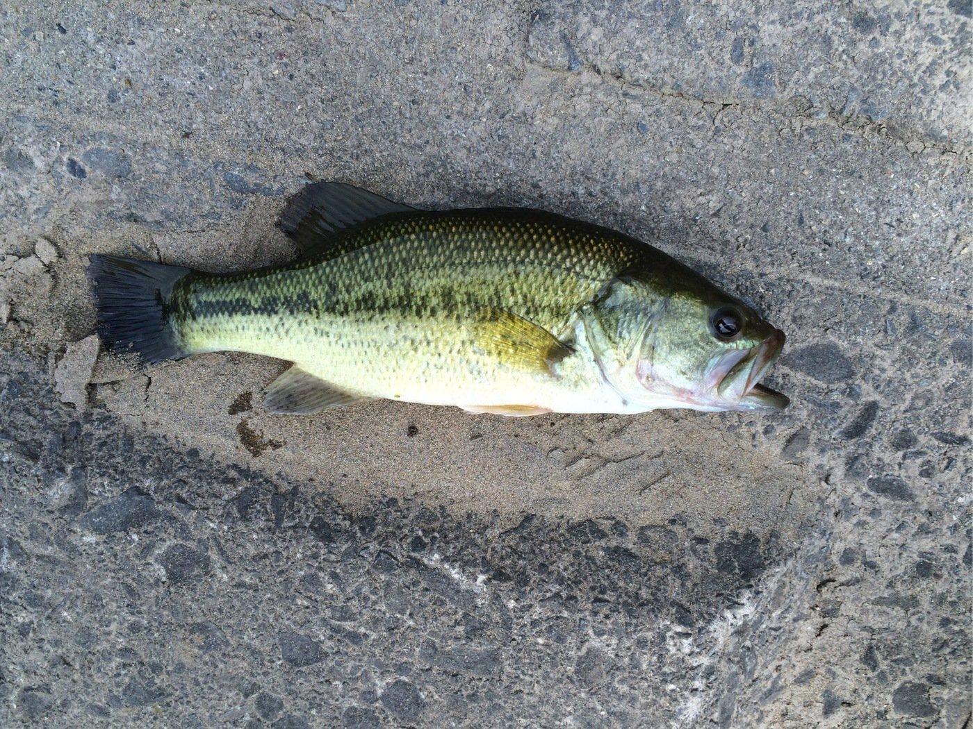 シーアツさんの投稿画像,写っている魚はブラックバス
