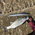 mi~/osakanaclubさんの長崎県南島原市での釣果写真