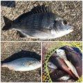 FREESTYLE(おーみ)さんの宮城県でのウミタナゴの釣果写真