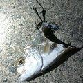 孤高の南国アングラーさんのコトヒキの釣果写真