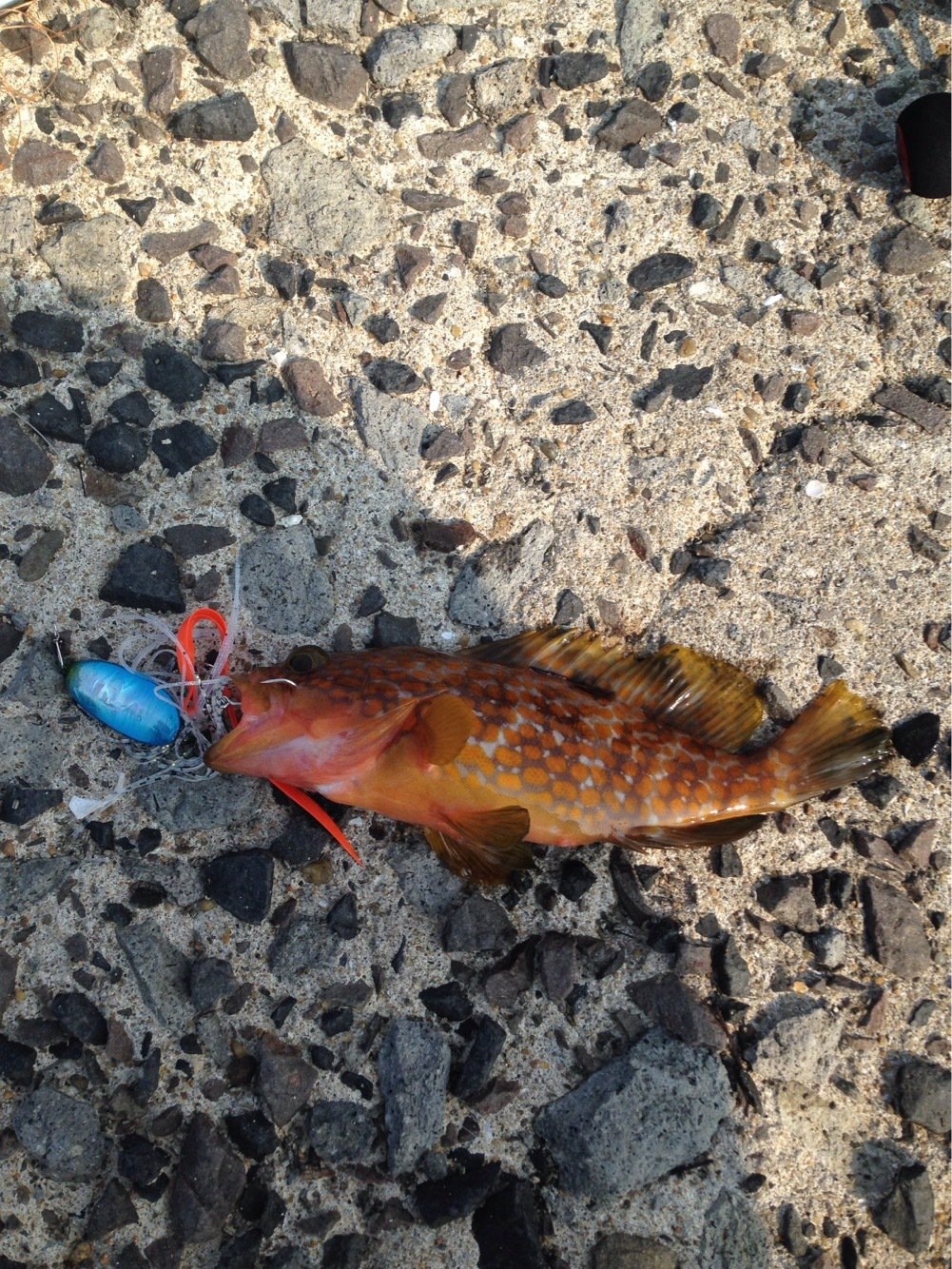 ナベさんの投稿画像,写っている魚はキジハタ