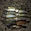 いなしんさんの広島県大竹市での釣果写真