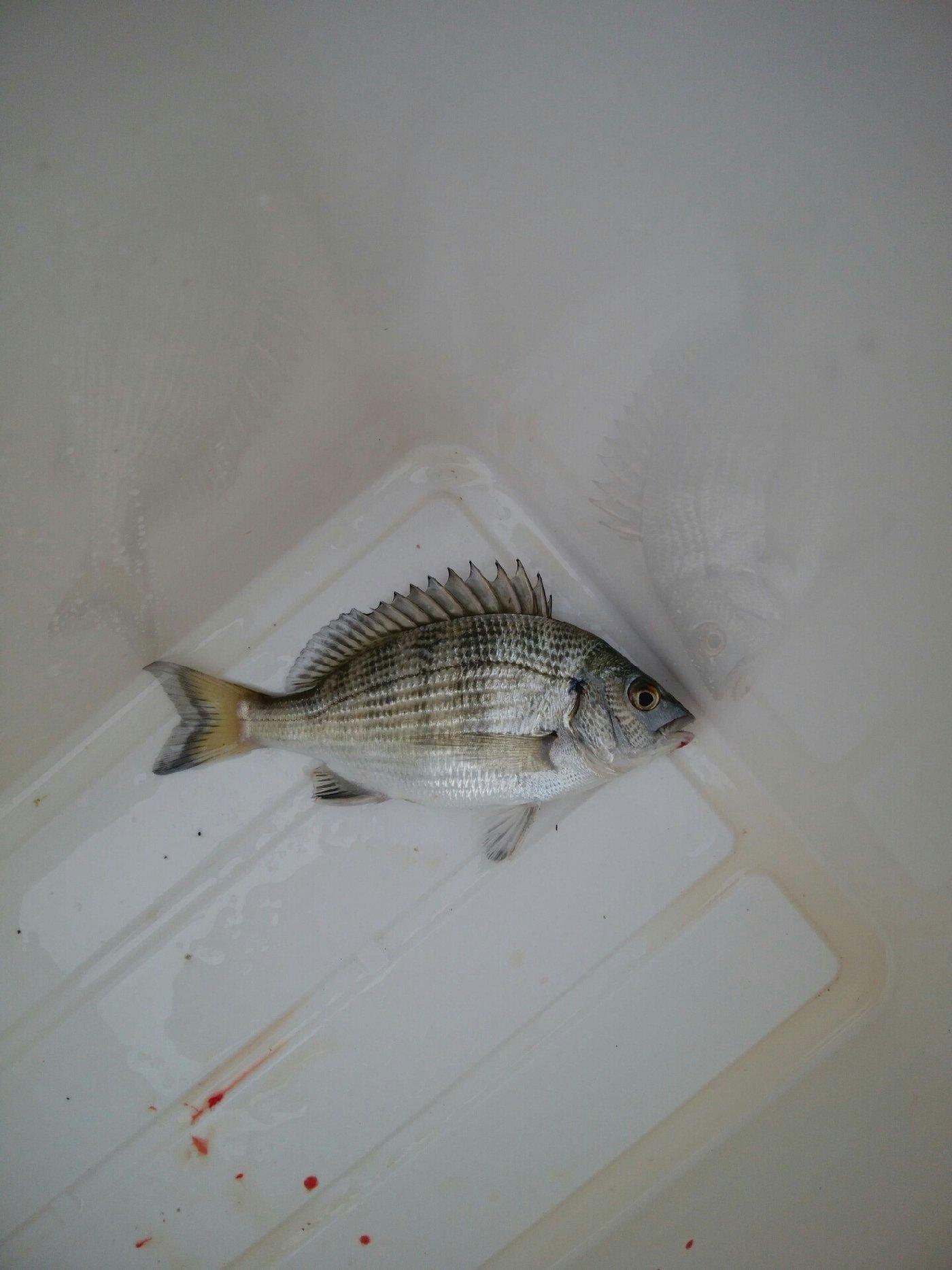 タツヤさんの投稿画像,写っている魚はクロダイ