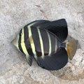 ムッシューむらむらさんのニザダイの釣果写真