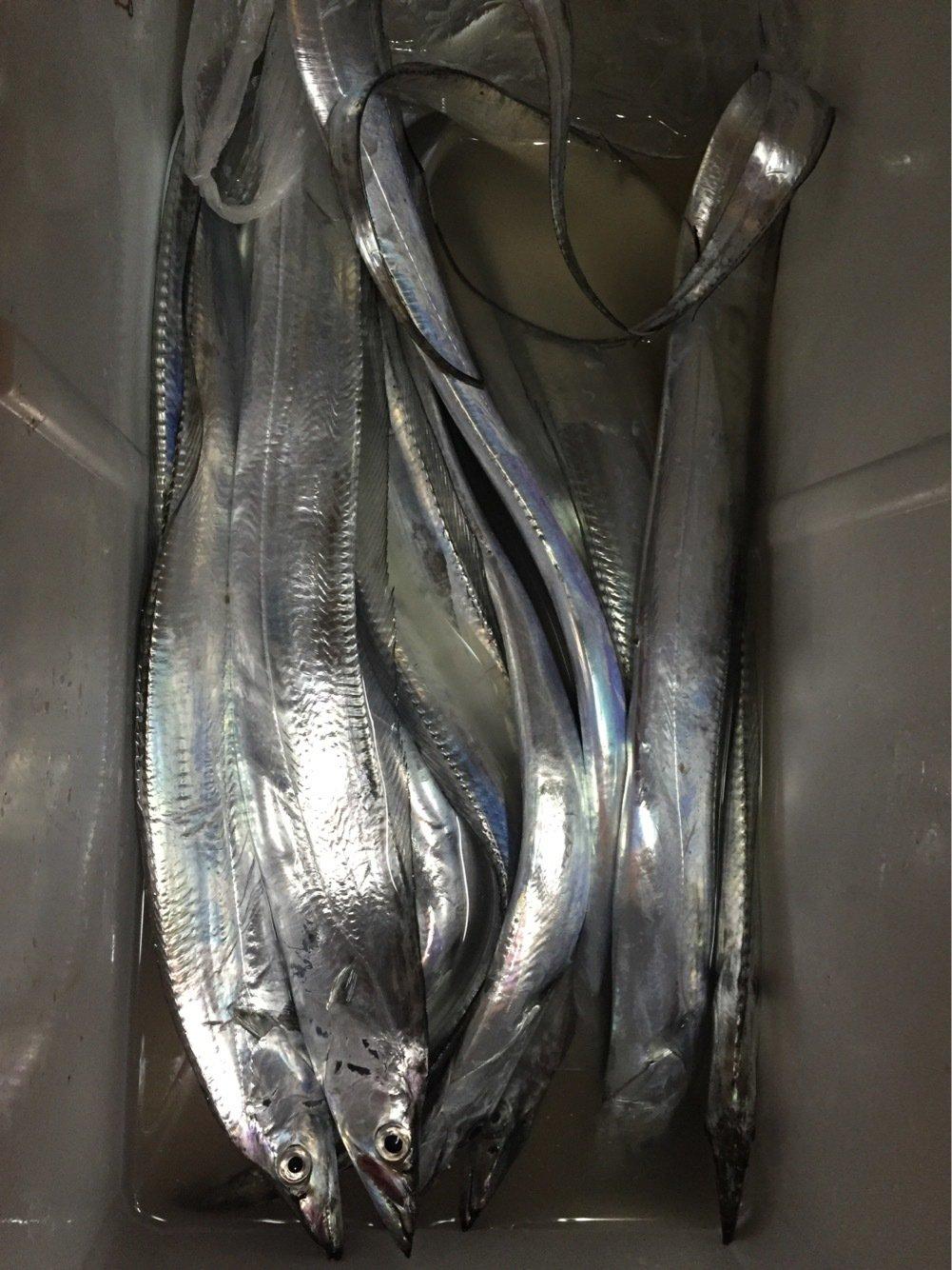 takaさんの投稿画像,写っている魚はタチウオ