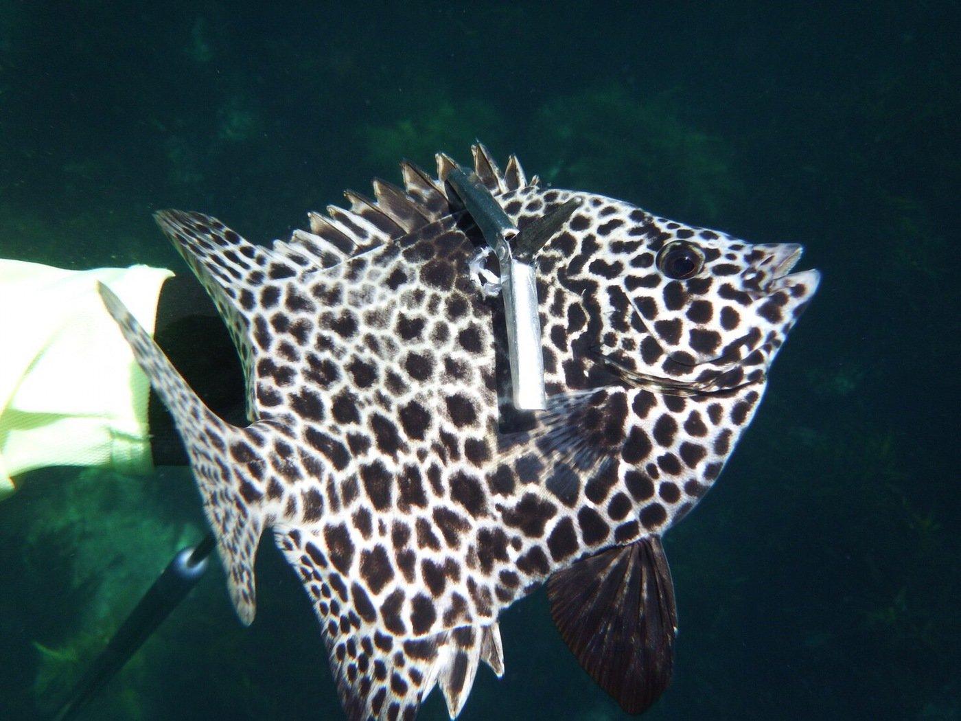 たくさんの投稿画像,写っている魚はイシガキダイ