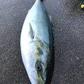 磯釣志さんの青森県でのワラサの釣果写真