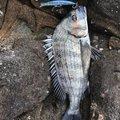 ぱつさんの熊本県天草郡でのクロダイの釣果写真
