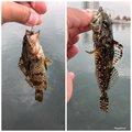 しんいちさんの香川県高松市でのタケノコメバルの釣果写真