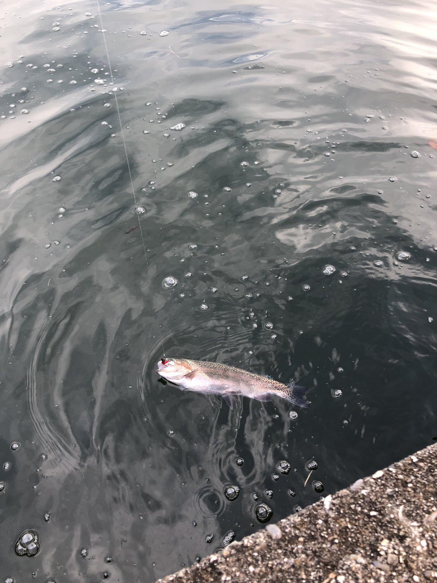 たくさんの投稿画像,写っている魚はニジマス