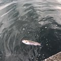たくさんの山梨県上野原市でのニジマスの釣果写真