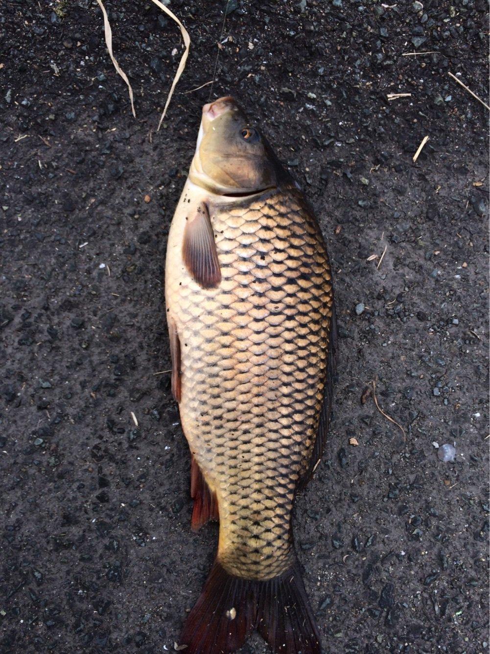 cozさんの投稿画像,写っている魚はコイ