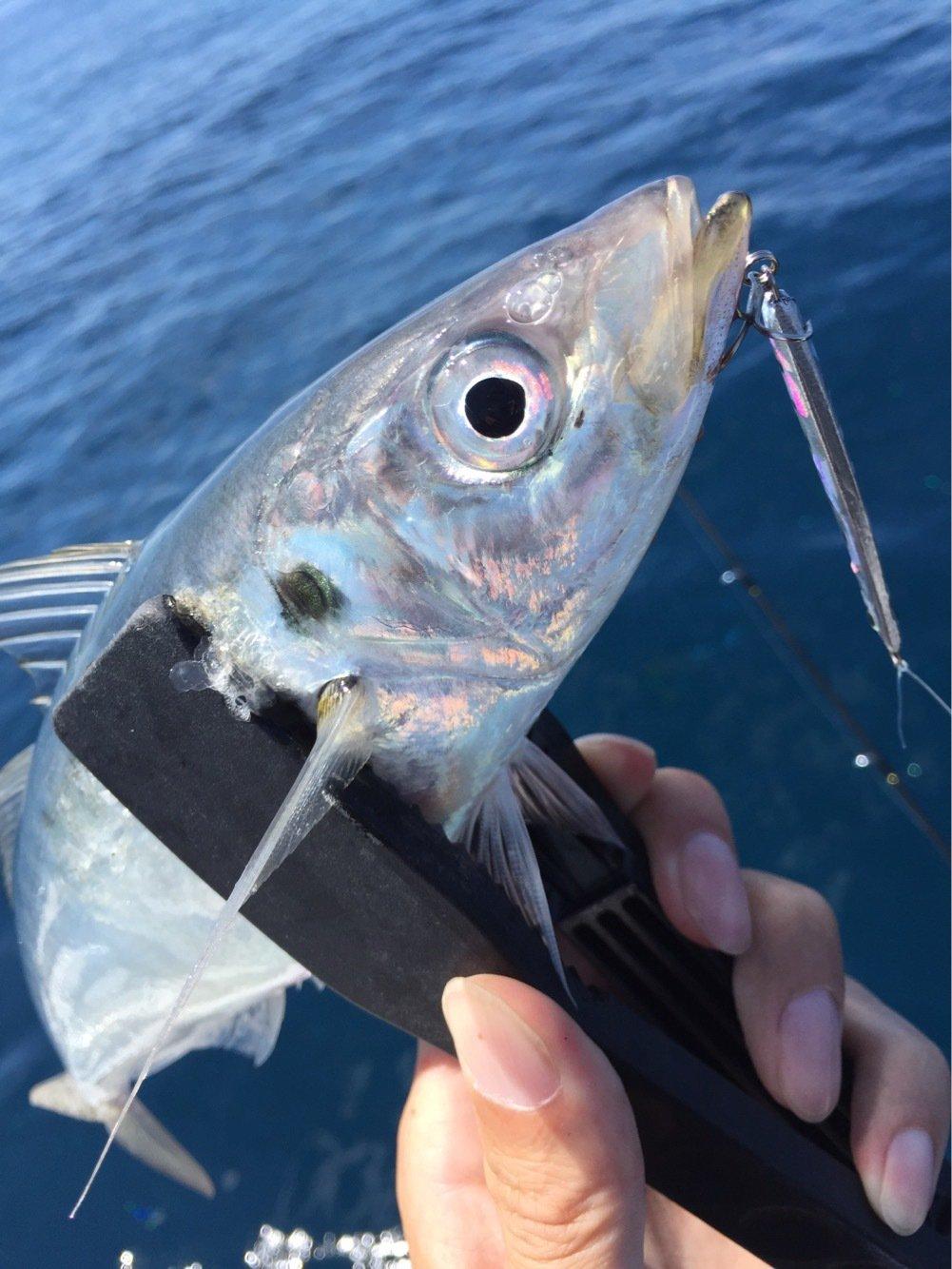 そーすけさんの投稿画像,写っている魚はアジ
