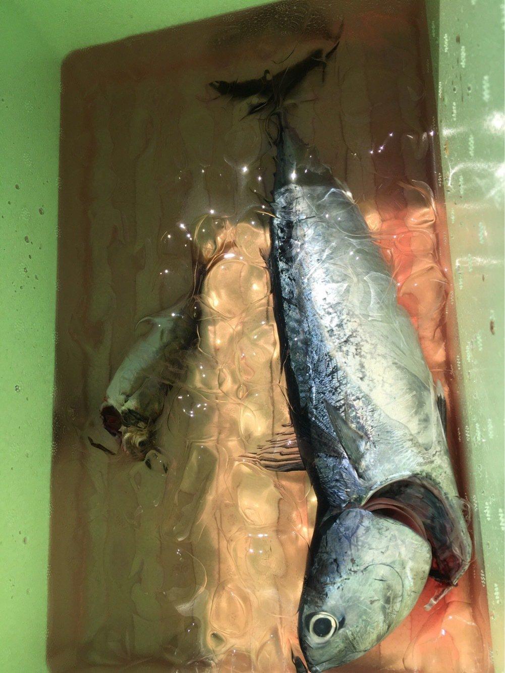 UMAさんの投稿画像,写っている魚はマルソウダ