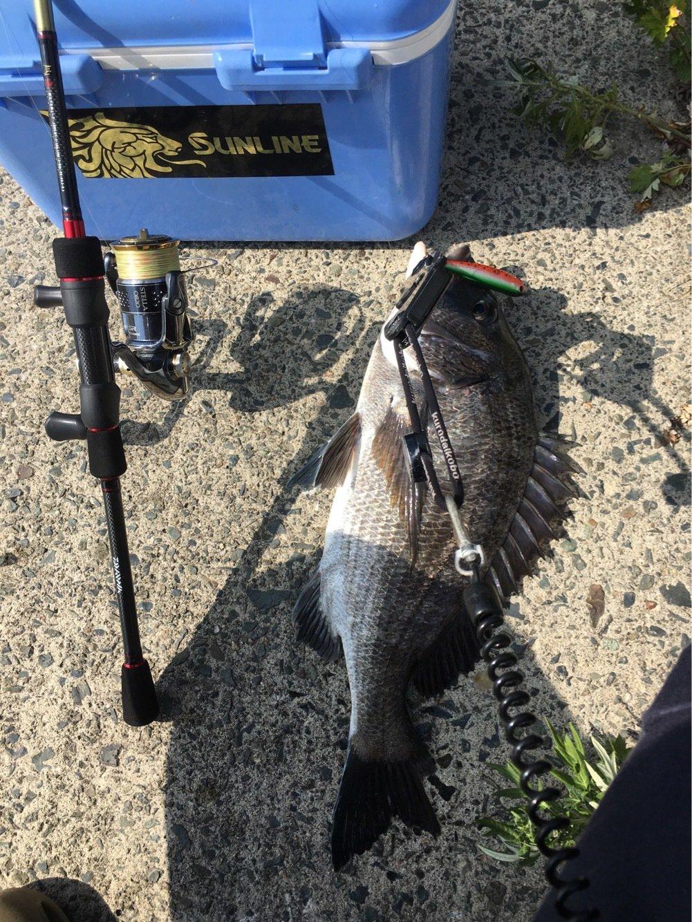 ぽてちんさんの投稿画像,写っている魚はクロダイ