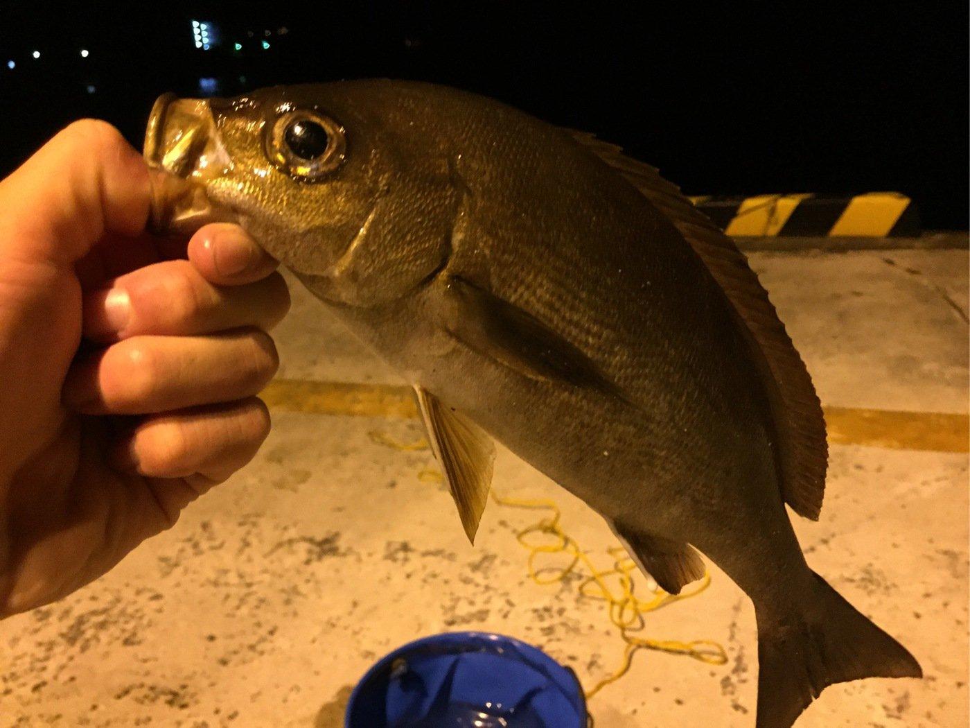 ザキヤマさんの投稿画像,写っている魚はイサキ