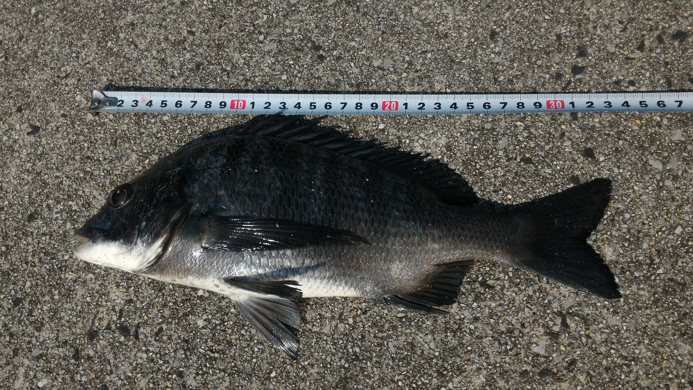 セルさんの投稿画像,写っている魚はクロダイ