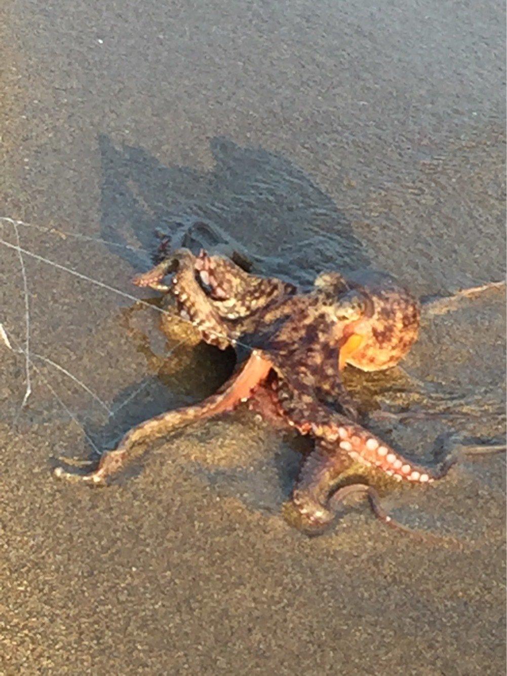 なべをさんの投稿画像,写っている魚はマダコ