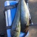 skaさんのシイラの釣果写真