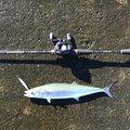ゴロウさんの青森県北津軽郡での釣果写真