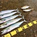 のどごし生さんの新潟県長岡市でのアジの釣果写真