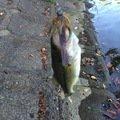 isao-fishingさんの岐阜県関市での釣果写真