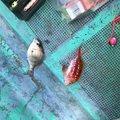 あつりさんの徳島県徳島市でのエソの釣果写真