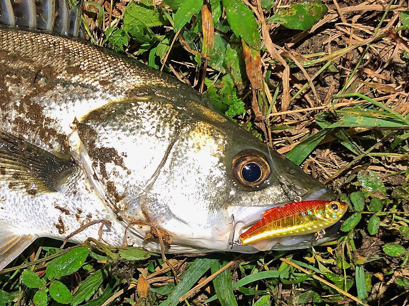 Zeroefficiencyさんの投稿画像,写っている魚はスズキ