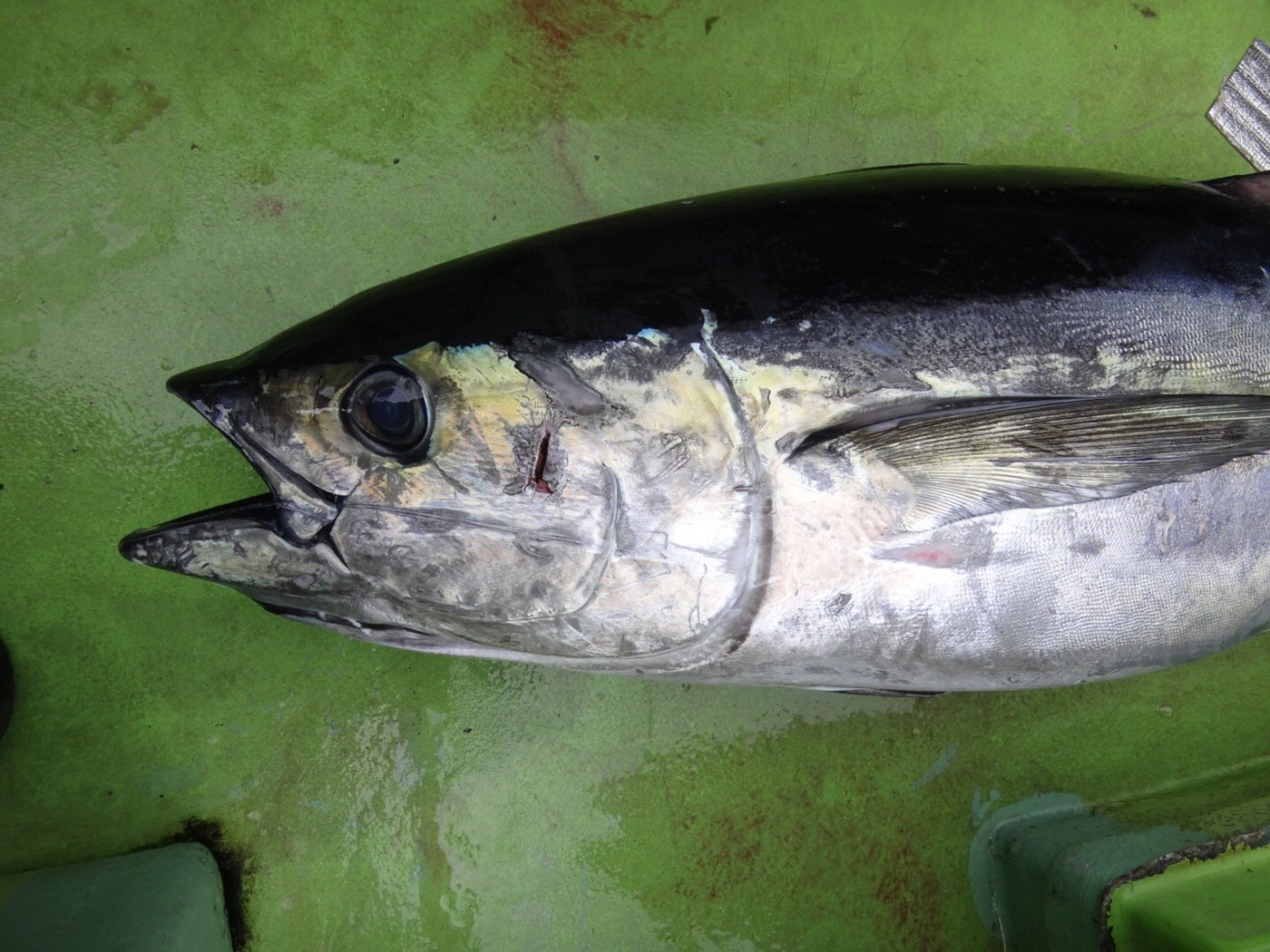 Suzyさんの投稿画像,写っている魚はキハダマグロ