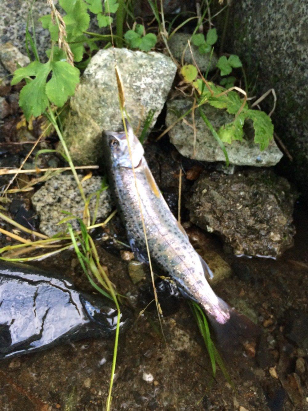 岩魚さんの投稿画像,写っている魚はヤマメ