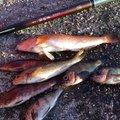 akkiさんの宮城県多賀城市でのアイナメの釣果写真