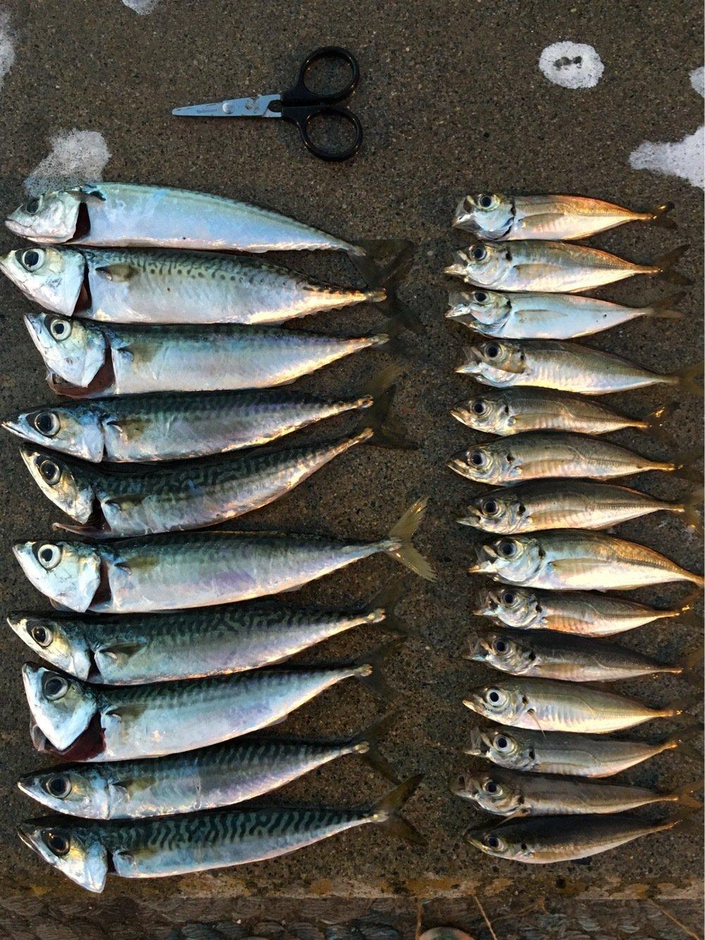 Murakameepさんの投稿画像,写っている魚はマサバ